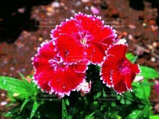 花,庭,ピンク,植物,赤,水滴,雫,草木,瑞々しい