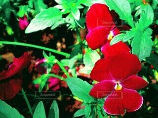 花,屋外,植物,赤,きれい,鮮やか,パンジー,草木,深紅