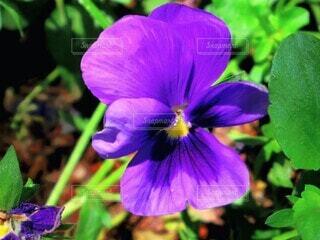 花,庭,屋外,植物,きれい,青,紫,葉,鮮やか,パンジー,草木