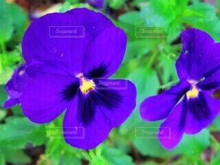 花,屋外,植物,きれい,青,紫,鮮やか,パンジー,草木