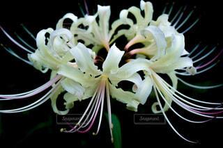 花,白,彼岸花,草木