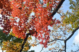 燃えるような赤い色をした紅葉の写真・画像素材[1643149]