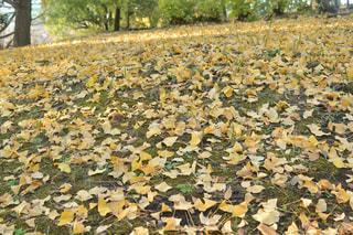 イチョウの落ち葉のじゅうたんの写真・画像素材[1643153]