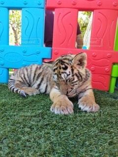 動物,海外,動物園,留学,トラ,マルタ,ネコ科,タイガー