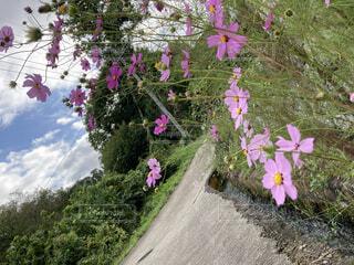 花,屋外,ピンク,コスモス,樹木,草木