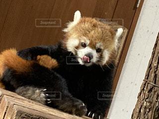 動物,癒し,可愛い,ペロリ,レッサー パンダ