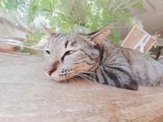 猫,動物,アップ,眠い,セクシー,しましま,ネコ科,ニャンコ,ウトウト