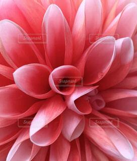 花,ピンク,ダリア,草木,ブルーム