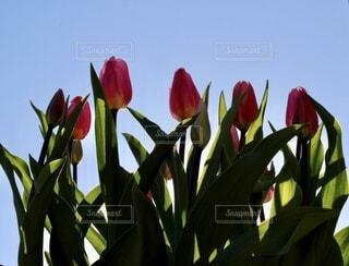 空,花,屋外,チューリップ,草木,ウィンターチューリップ,冬咲きチューリップ