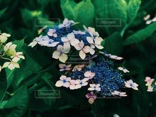自然,花,梅雨,アサガオ,草木