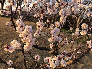 花,春,屋外,梅,樹木,午後,ピンク色,梅林,梅の花,草木,日曜日,ブロッサム,田浦,フローラ,梅の里