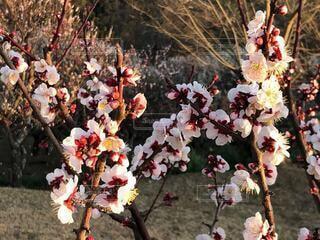花,春,屋外,梅,午後,梅林,梅の花,草木,日曜日,ブロッサム,田浦,フローラ,梅の里