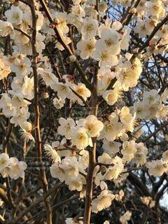花,春,屋外,梅,樹木,午後,梅林,梅の花,草木,日曜日,白梅,ブルーム,ブロッサム,田浦,フローラ,梅の里