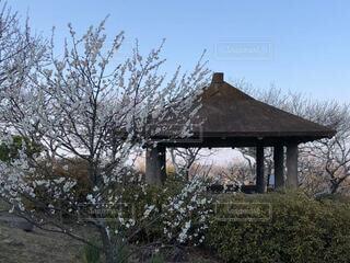 空,建物,屋外,梅,晴れ,青空,樹木,梅の花,草木,梅の里