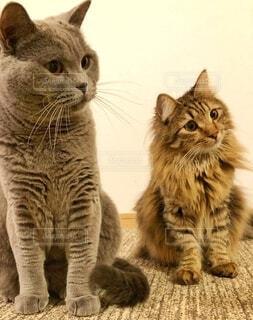 猫,動物,かわいい,仲良し,ネコ科