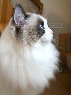 猫,動物,屋内,白,見つめる,ネコ科