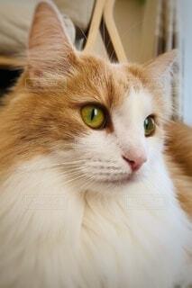 猫,動物,屋内,かわいい,目,見つめる,ネコ科