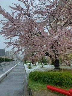 春,雪,綺麗,季節外れ,桜の花,さくら