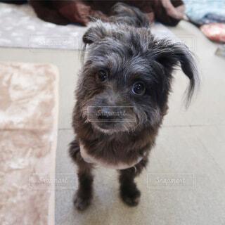 犬,動物,チワワ,屋内,かわいい,癒し,子犬,プードル,チワプー