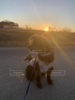 犬,動物,チワワ,屋外,太陽,かわいい,田舎,景色,田んぼ,プードル,日の出,畑,チワプー,まったり