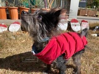 犬,自然,動物,チワワ,屋外,かわいい,草,癒し,クリスマス,子犬,プードル,チワプー