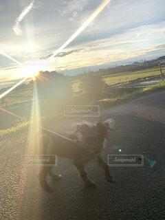 犬,動物,チワワ,屋外,太陽,晴れ,田舎,癒し,田んぼ,仔犬,プードル,畑,チワプー
