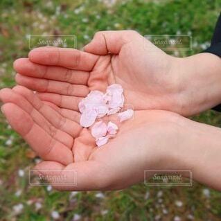 花,春,桜,屋外,太陽,晴れ,手,菜の花,田舎,花びら,草,人物,人,田んぼ,畑,持株