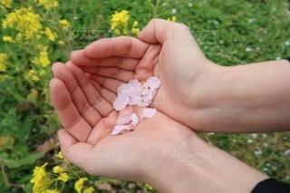 花,春,桜,屋外,晴れ,手,菜の花,花びら,草,樹木,人物,人