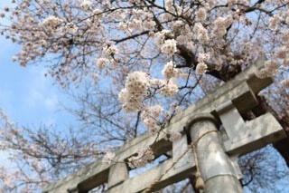 花,春,屋外,神社,鳥居,樹木,桜の花,さくら,ブロッサム