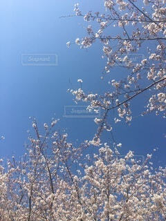 空,花,春,桜,屋外,青い空,花びら,樹木,草木