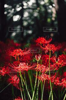 花,秋,お花畑,赤,フラワー,赤い花,樹木,クリスマス,彼岸花,儚い,秋の花,季節の花,草木,花言葉