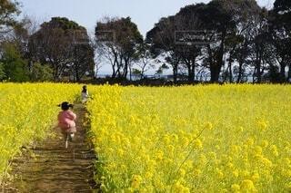 子ども,花,春,花畑,屋外,黄色,菜の花,景色,女の子,草,樹木,幼児,菜の花畑,姉妹,草木,3月,春休み,早春,2月,立春