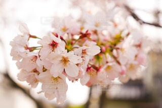 桜🌸の写真・画像素材[4290031]
