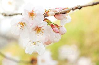 桜🌸の写真・画像素材[4290034]