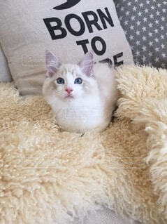 ソファーでくつろぐ子猫の写真・画像素材[4135394]