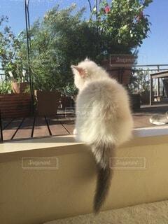 猫,動物,リビング,屋内,庭,白,かわいい,後ろ姿,室内,窓,ガーデニング,ふわふわ,ねこ,子猫,窓辺,可愛い,尻尾,しっぽ,ラグドール,日向ぼっこ,ライフスタイル,ぬくもり,眺め,ネコ科,もこもこ