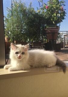 窓辺に寝そべる子猫の写真・画像素材[4136653]