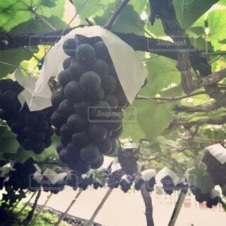 枝からぶら下がっている果物の写真・画像素材[4145761]