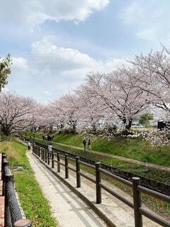 桜並木と青空の写真・画像素材[4302356]