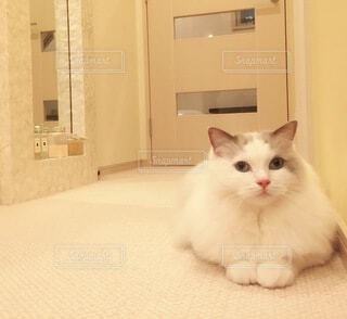 リビングで寛ぐ猫の写真・画像素材[4371171]
