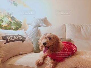 ソファーに座っている犬の写真・画像素材[4371175]