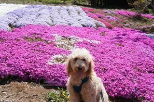 紫色の花とピンクの花と犬の写真・画像素材[4378842]