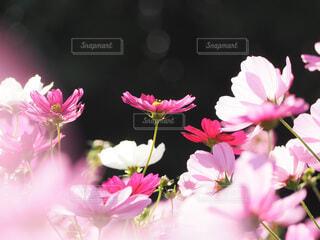 花,ピンク,コスモス,晴れ,花びら,秋桜,玉ボケ,草木,日中,フォトジェニック,ブロッサム,フローラ