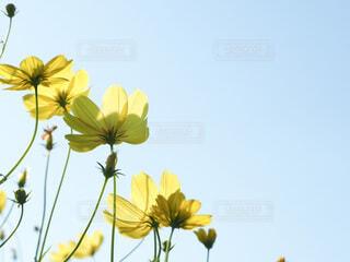 花,秋,コスモス,青空,黄色,景色,秋桜,草木,秋色