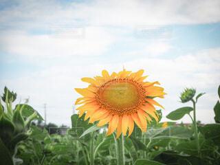 空,花,夏,ひまわり,青空,景色,向日葵,夏の始まり,草木,フォトジェニック,1つ