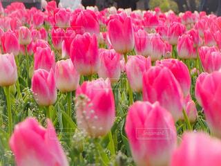 花,花畑,屋外,ピンク,景色,チューリップ,景観,草木,ブルーム