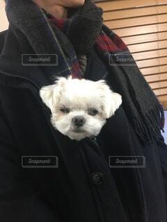 犬,動物,子犬,白い犬,チワマル