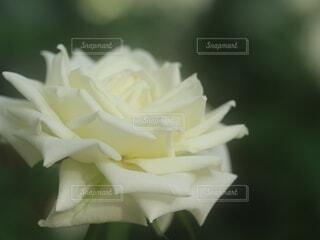 花,白,バラ,薔薇,紙,草木