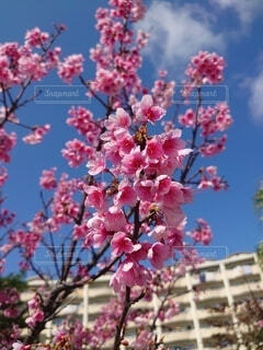 空,花,屋外,樹木,草木,桜の花,さくら,ブロッサム