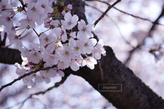 花,屋外,葉,樹木,草木,桜の花,さくら